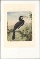 Bucerotidae - 1880 - Print - Iconographia Zoologica - Special Collections University of Amsterdam - UBA01 IZAA100031.tif