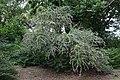 Buddleia davidii (Fringe-eye Butterflybush) (36657515535).jpg