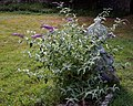 Buddleja on churchyard grave at Monkton Kent England 1.jpg