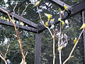Budgerigars and Cockatiels -Racine Zoo, Wisconsin, USA -aviary-6a.jpg