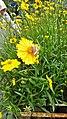 Bunga Kosmos Kuning.jpg