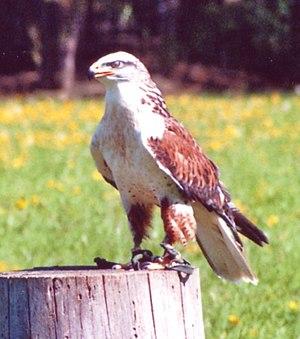 Buteo - Ferruginous hawk (Buteo regalis)