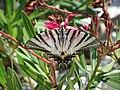 Butterfly - panoramio (14).jpg