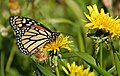 Butterfly and Dandelions (2595217588).jpg