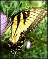 Butterfly and Thistle (1162670892).jpg