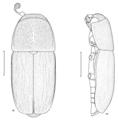 COLE Nitidulidae Amorotubus clarkei 1.png