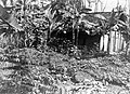 COLLECTIE TROPENMUSEUM Intensieve beplanting met suikerriet tabak bataten en cassave Kamolan TMnr 10010993.jpg
