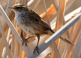 CSIRO ScienceImage 10323 Little Grassbird.jpg
