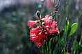 CSIRO ScienceImage 2731 The Crimson Bottlebrush Callistemon citrinus La Perouse NSW.jpg