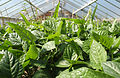 CSIRO ScienceImage 3688 Cowpeas in a glasshouse.jpg