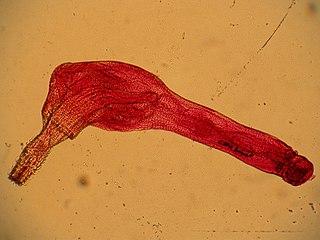 Acanthocephala phylum of parasitic worms