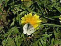 Cabbage White butterfly on dandelion - geograph.org.uk - 406595.jpg