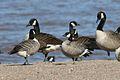 Cackling Goose (Branta hutchinsis hutchinsii) (3204290378).jpg