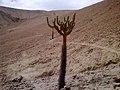 Cactus Candelabro - panoramio.jpg