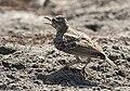 Calandrella brachydactyla - Greater Short-toed Lark 02.jpg