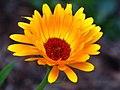Calendula (3907944157).jpg