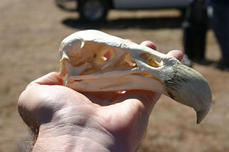 California condor - California condor skull
