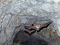 California leaf-nosed bat (Macrotus californicus) (14230017952).jpg