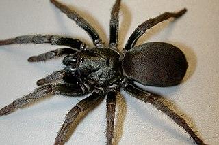 Nemesiidae Family of spiders