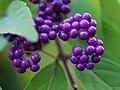 Callicarpa dichotoma, fruit 01.jpg