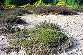 Callune broutée coloneHelfaut2001.jpg