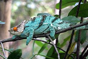 Kuvan kuvaus Calumma Parsonii Ste Marie Madagascar.jpg.