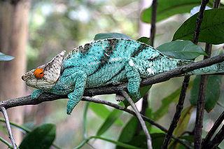 <i>Calumma</i> Genus of lizards