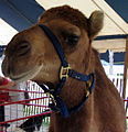 Camel in petting zoo.jpg