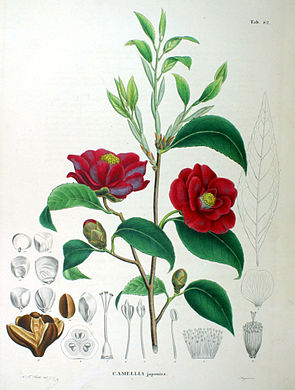 Kamelie (Camellia japonica)
