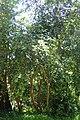Camellia oleifera kz7.jpg