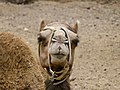 Camelus dromedarius - dromedary head - Dromedarkopf - dromadaire hure - Oasis Park - Fuerteventura - 04.jpg