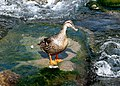 Canard colvert femelle 02.jpg