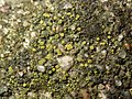 Candelariella aurella 59667589.jpg
