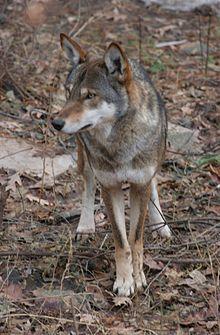 Red Wolf Wikipedia