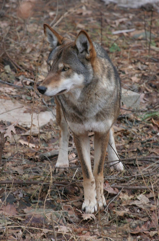 Canis rufus 1 - Syracuse Zoo