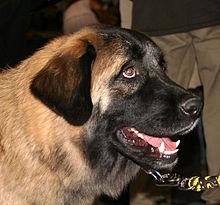 Estrela Mountain Dog Breeders Uk