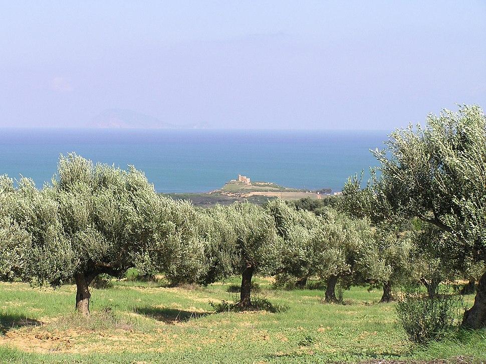 Cap Bon olive groves
