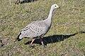 Cape Barren goose 4.jpg
