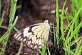 Caper white (Belenois aurota) female.jpg