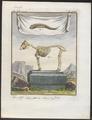 Capra aegagrus - skelet - 1700-1880 - Print - Iconographia Zoologica - Special Collections University of Amsterdam - UBA01 IZ21300259.tif