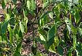 Capsicum baccatum - Parc Floral.jpg