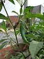 Capsicum frutescens (4).JPG