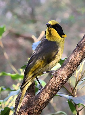 Helmeted honeyeater - Image: Captively bred Helmeted Honeyeater at the Healesville Sanctuary in Healesville, Victoria, Australia