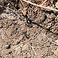 Carábidos (Carabidae).jpg