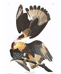 Caracara cheriway by Audubon.jpg