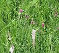 Carpet of wild flowers, Gorsley churchyard - geograph.org.uk - 444957.jpg