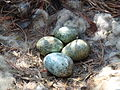 Carrion Crow Nest 17-04-10 (41.2 mm x 28.9 mm Egg Size) (4528583782).jpg