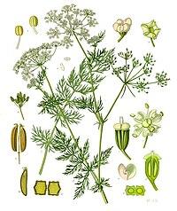 Carum carvi - Köhler–s Medizinal-Pflanzen-172.jpg