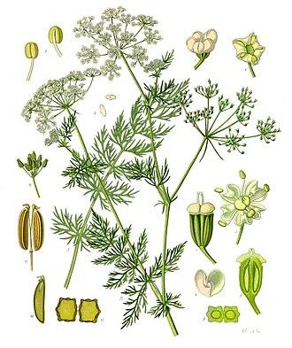 Caraway - Image: Carum carvi Köhler–s Medizinal Pflanzen 172