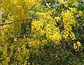 Cassia fistula flowers 7.jpg
